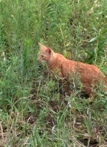 猫チャトラ