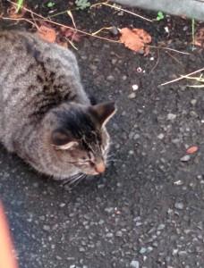2015-09-18 17.27.57 トラジマの猫