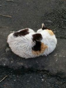 三毛猫のお母さん野良