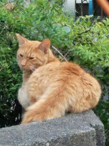 チャトラ猫