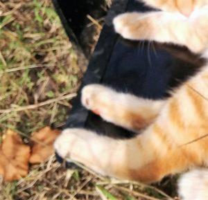 猫足もふもふトラ猫