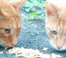 ジャーキーを食べる猫