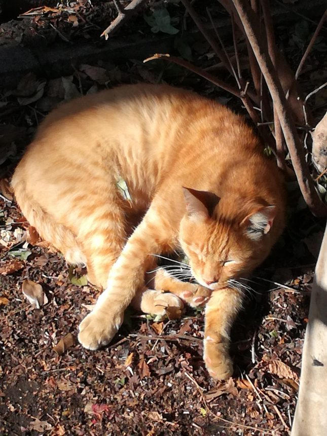 お昼寝している猫